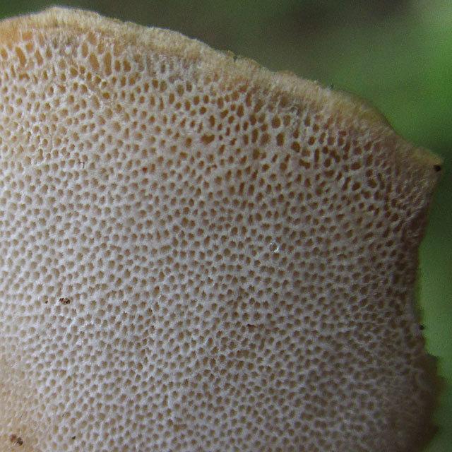 Полипорус черноногий