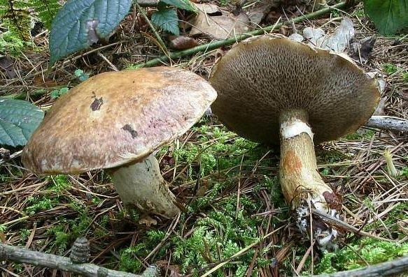 маленький масленок гриб
