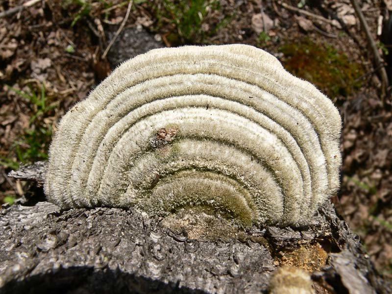 Траметес жёстковолосистый (Trametes hirsuta)