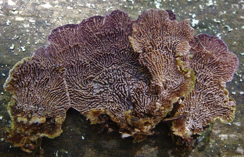 Трихаптум буро-фиолетовый - Trichaptum fuscoviolaceum