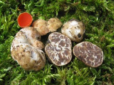 Трюфель белый мартовский (Tuber borchii)