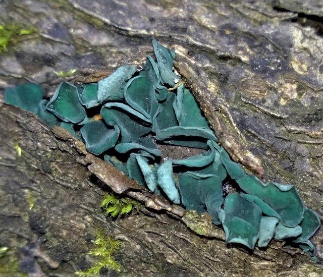 Хлороцибория сине-зеленоватая