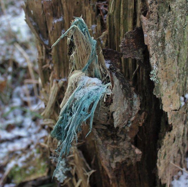 Хлороцибория - окрашивание древесины