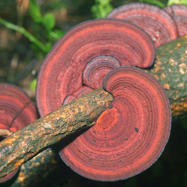 Дедалеопсис трехцветный