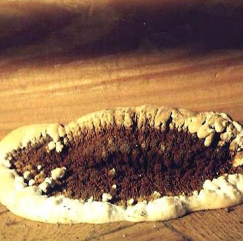 домовой гриб фото
