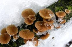 Меланотус филлипса