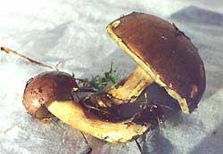 Моховик зеленый (Xerocomus subtomen tosus (Fr.) Quel)