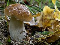 Белый гриб дубовый (Боровик сетчатый)