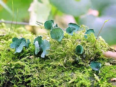 Хлороцибория сине-зеленая