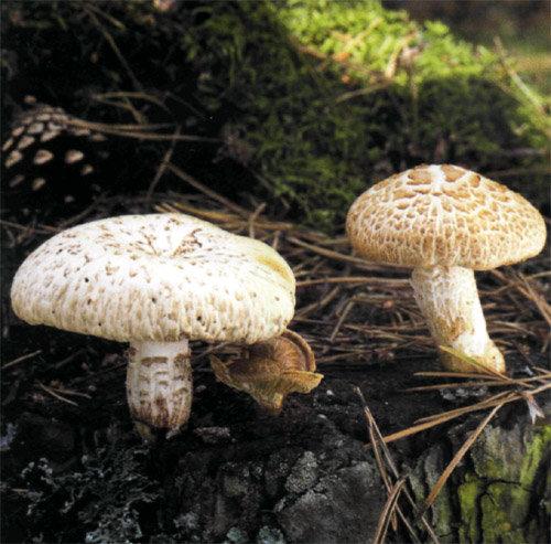 Пилолистник чешуйчатый (Шпальный гриб)