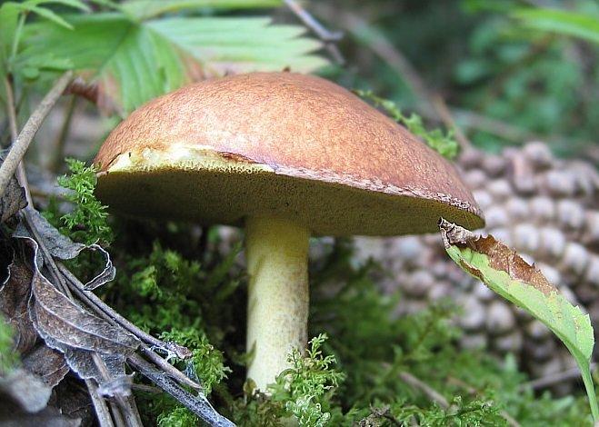Лучик света - энциклопедия для детей: грибы. масленок