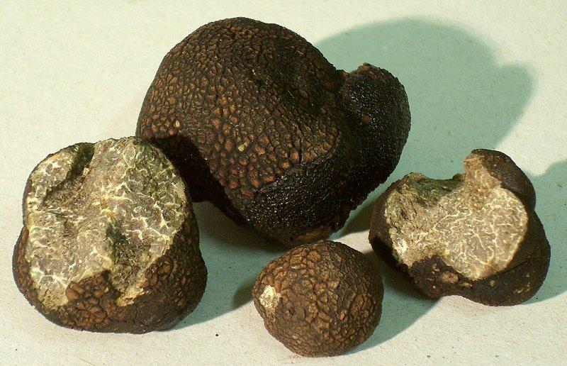Трюфель гладкий чёрный (Tuber macrosporum)
