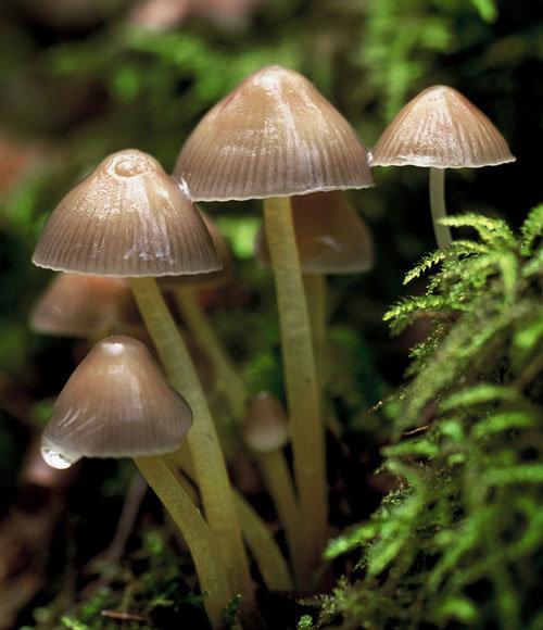 Мицена клейкая (Mycena viscosa)