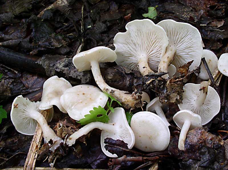грибы белого цвета фото: