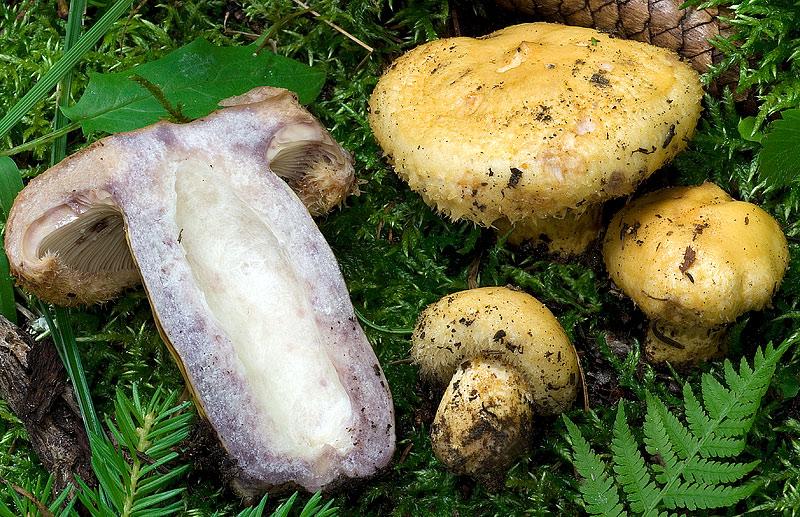 гриб ельничный фото и описание