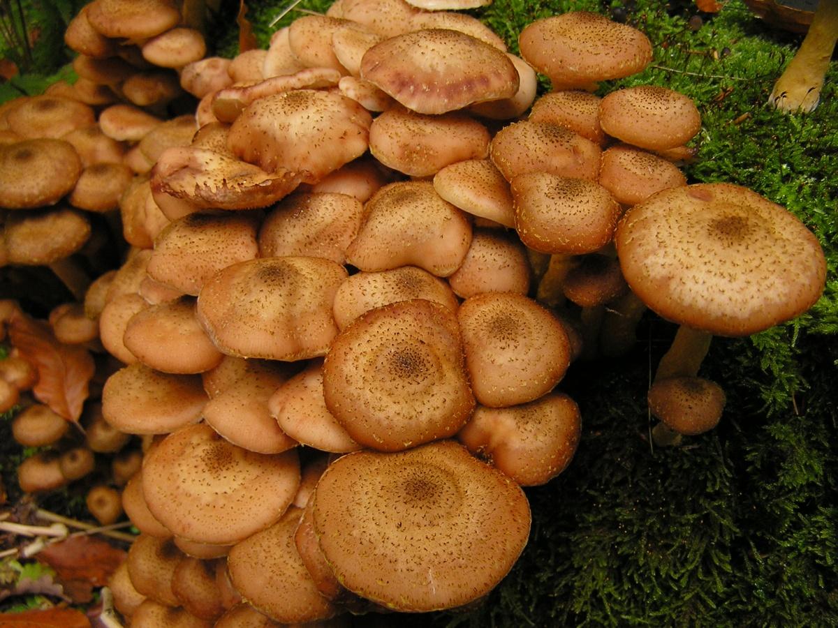 грибы опята несъедобные фото и описание