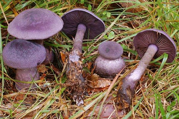 гриб фиолетового цвета фото