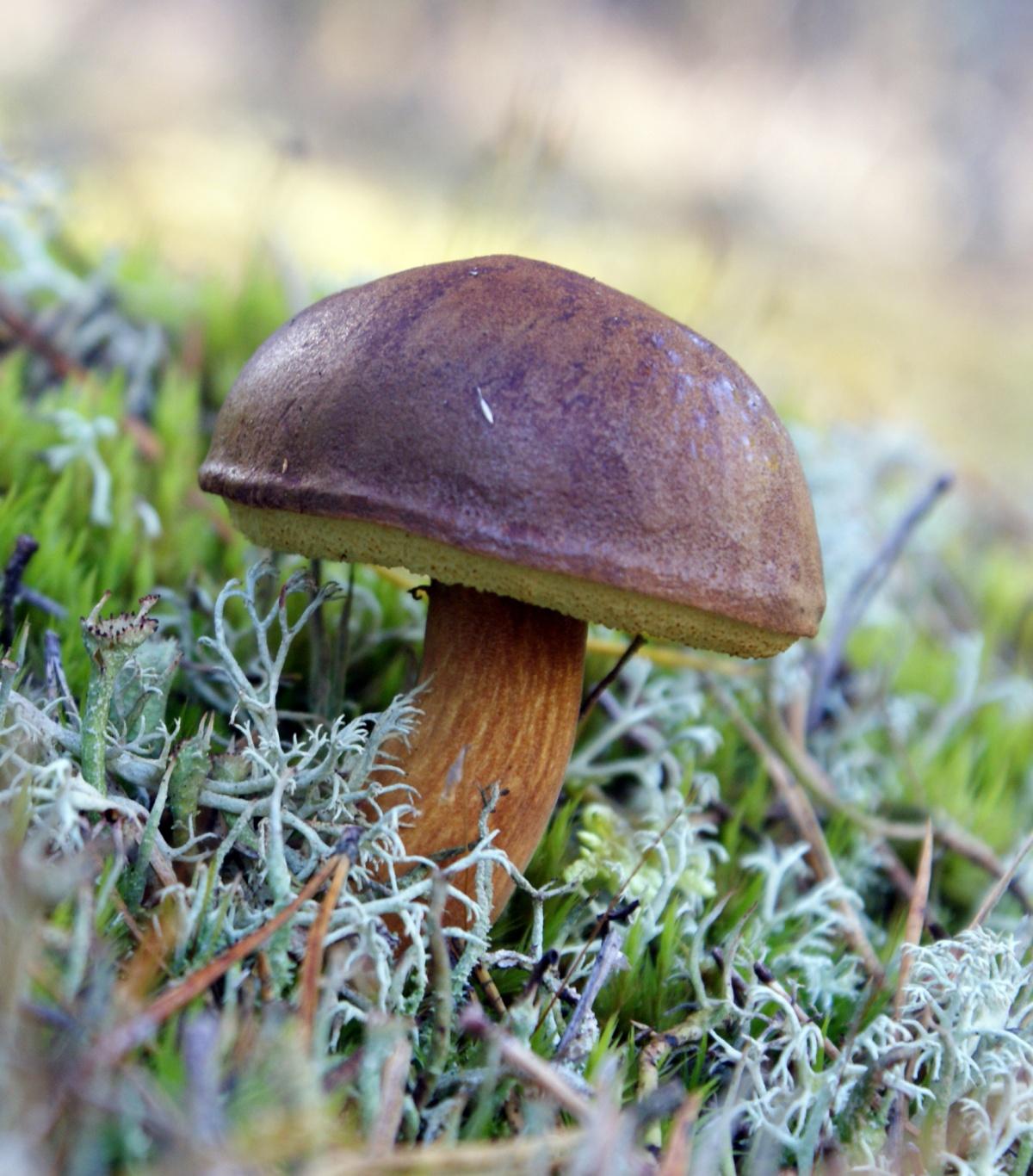 польский белый гриб фото описание