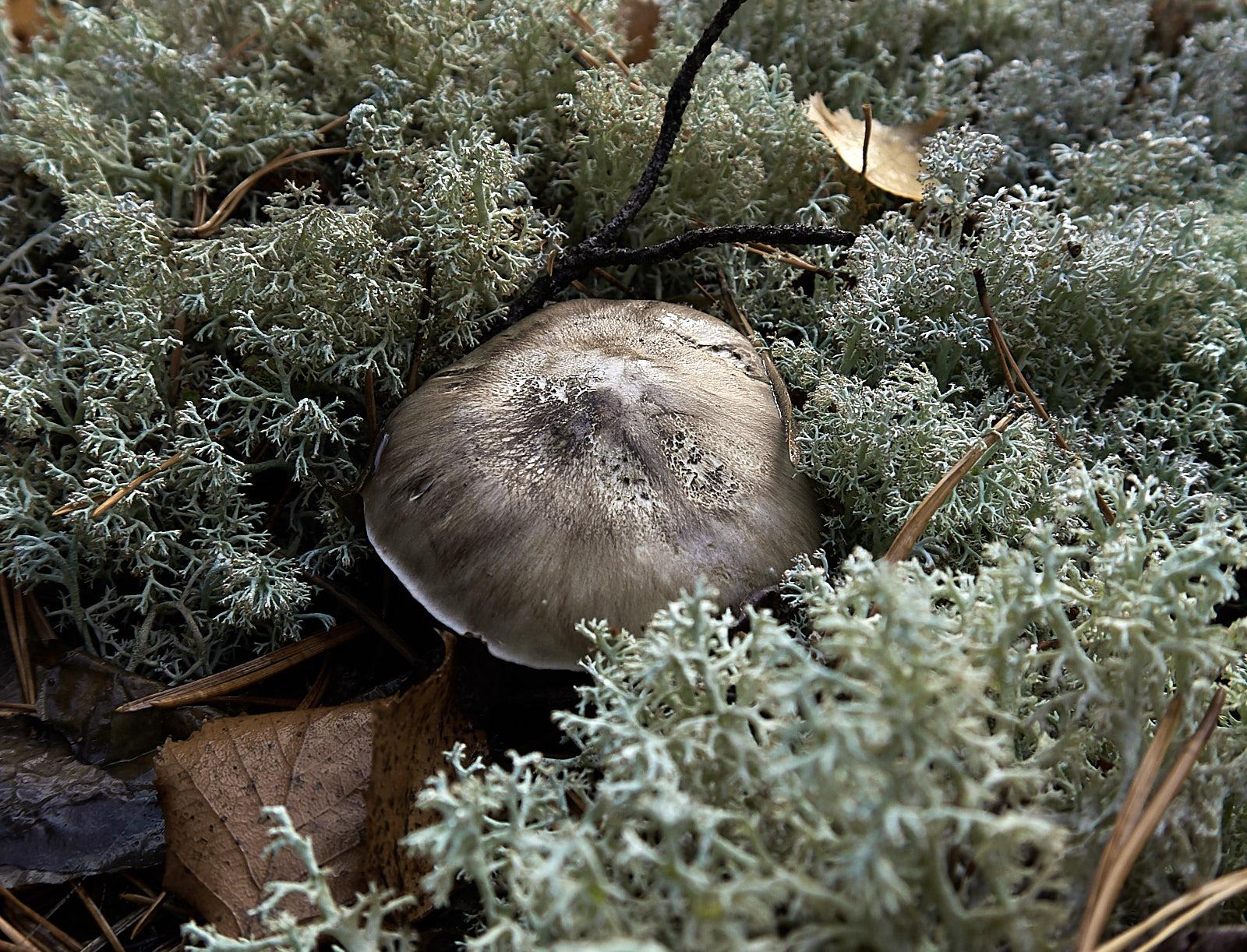 http://wikigrib.ru/img-gribs/ryadovka-seraya/Tricholoma-portentosum_05.jpg