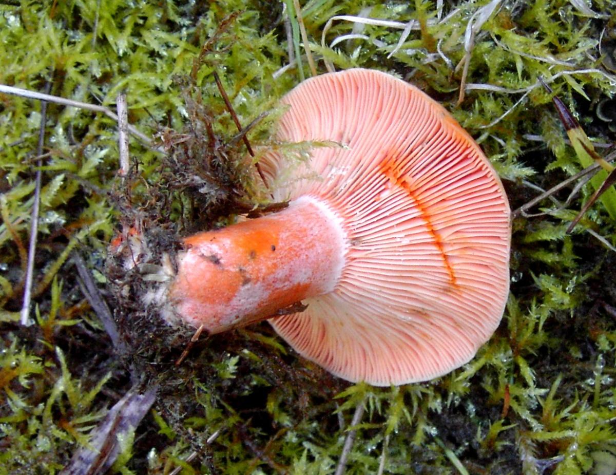 еловый рыжик фото