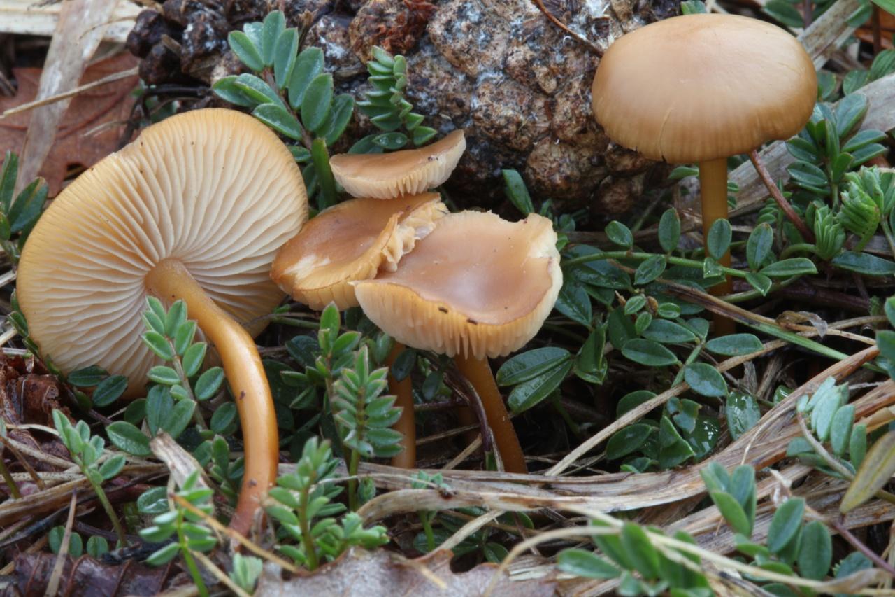 рыжие грибы на тонкой ножке фото