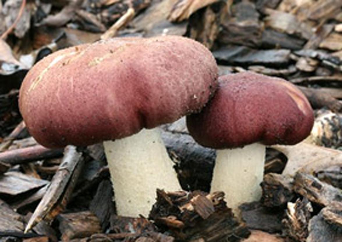 кольцевик гриб фото