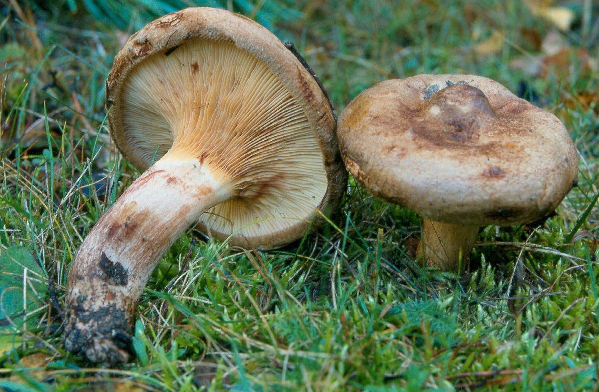 грибы коровники фото и описание как готовить видео