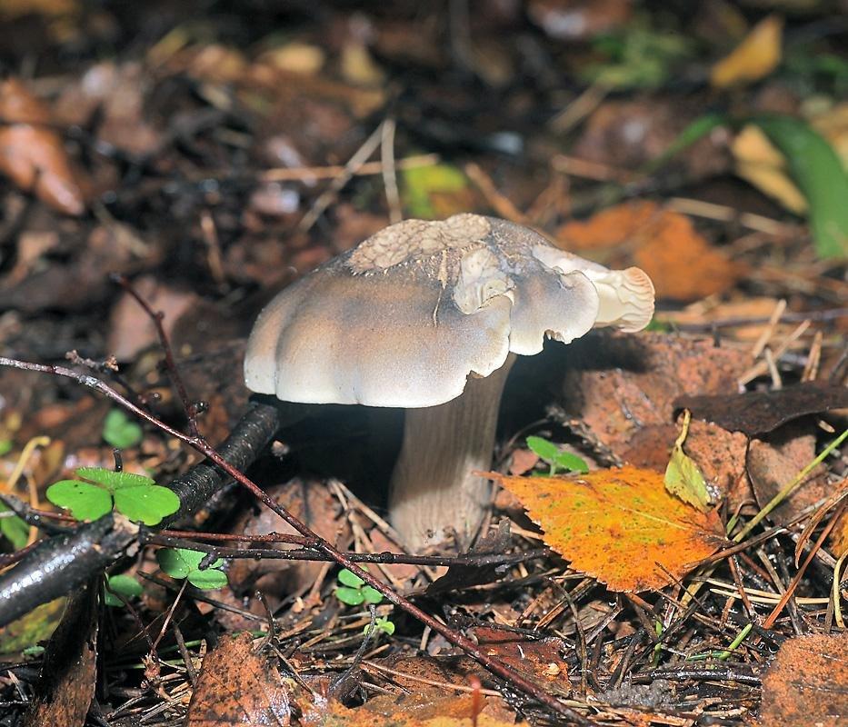 грибы рядовка фото и описание несъедобных